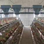 poultry feeding system for sale in china
