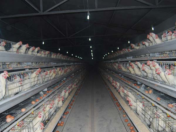 poultry farming cage in China