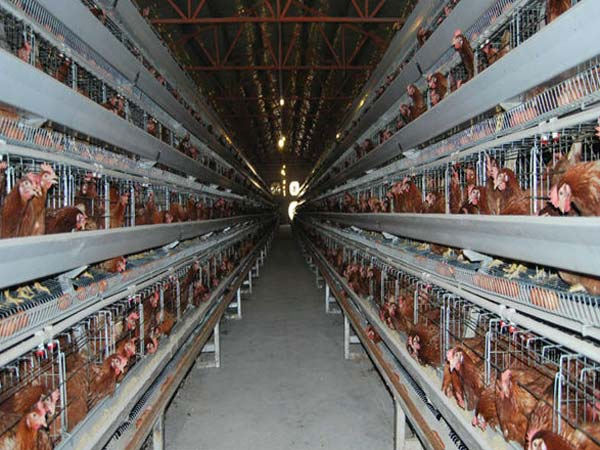 china broiler breeder cages manufacturer