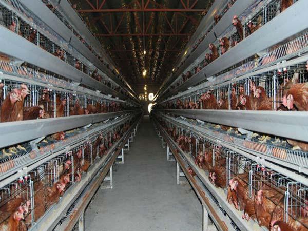 china broiler breeder cages manufacturer
