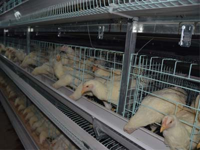 broiler chicken cage for sale