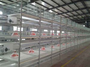 broiler pullet cage