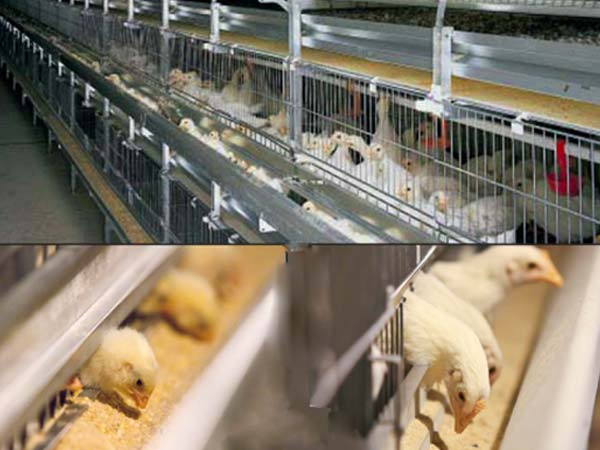 broiler pullet cages manufacturer