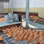 Egg Collection System