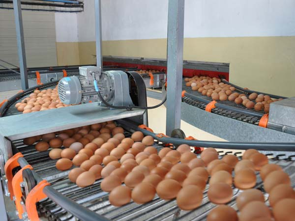 egg collecting system in china