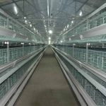 Poultry chicken farming cage-egg collection equipment operation