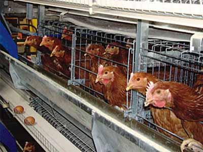 ayer chicken cage