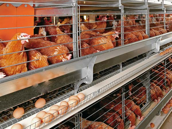 Quality broiler chicken cages manufacturers in China