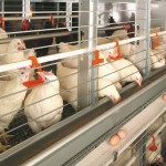 advantages of battery cage system of poultry production