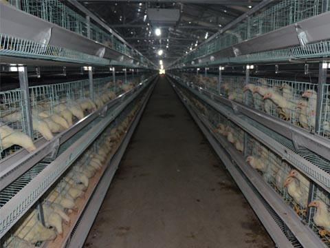 H type chicken laying cage