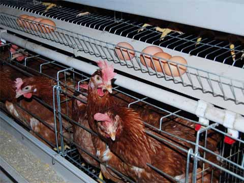chicken battery cage