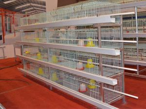 pullet chicken cage for sale
