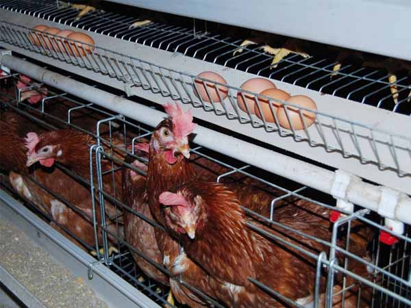 quality and automatic layer chicken cage