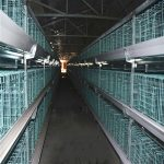 Automated poultry broiler breeding cage system for sale