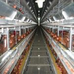 Automatic farming equipment for laying egg hens